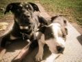 Bully breeds, Newport News VA